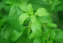 bitter and sweet truth about stevia